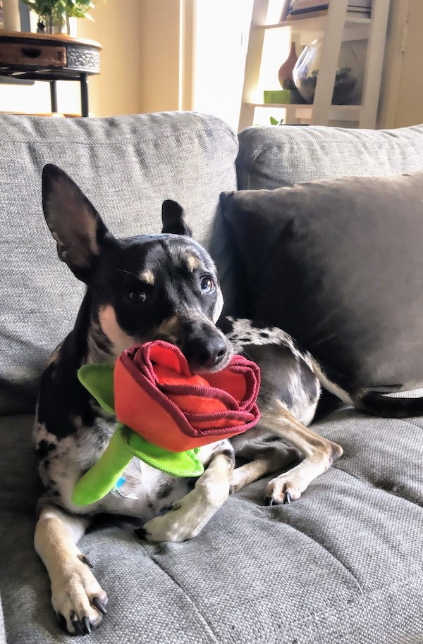 barkbox rose