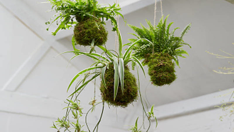 Trend Alert: Kokedama (Japanese Moss Balls) Adds Live Art To Your Home and Garden