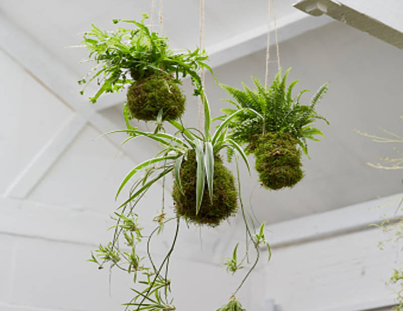 QnA VBage Trend Alert: Kokedama (Japanese Moss Balls) Adds Live Art To Your Home and Garden